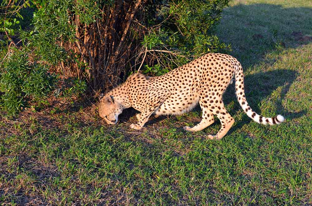 Zulu Safaris DURBAN South Africa - Hluhluwe Imfolozi Safari & Emdoneni Wild Cat Project Day Tour