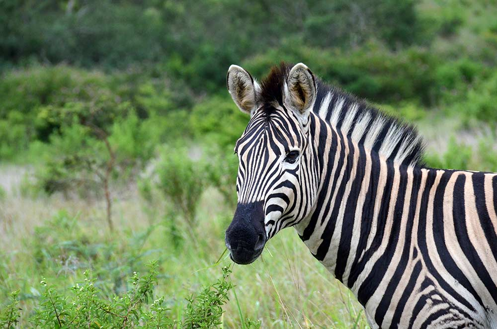 Zulu Safaris - DURBAN South Africa Hluhluwe Imfolozi Open Vehicle Game Drive from Durban