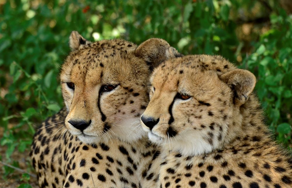 Cheetah is the fastest land animal in the world, a cheetah can reach 112km/h in just three seconds. Cheetahs are usually found in groups.